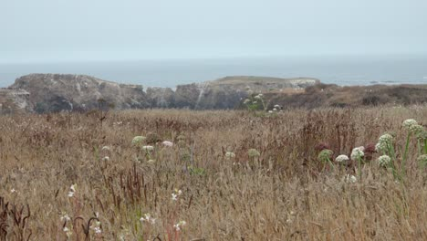 Wild-grass-blowing-in-the-wind-that-comes-off-the-Pacific-Ocean-and-sweeps-over-the-Mendicino-Headlands-California