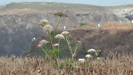 Wild-grass-blowing-in-the-wind-that-comes-off-the-Pacific-Ocean-and-sweeps-over-the-Mendicino-Headlands-California-1