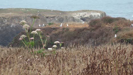 Wild-grass-blowing-in-the-wind-that-comes-off-the-Pacific-Ocean-and-sweeps-over-the-Mendicino-Headlands-California-2