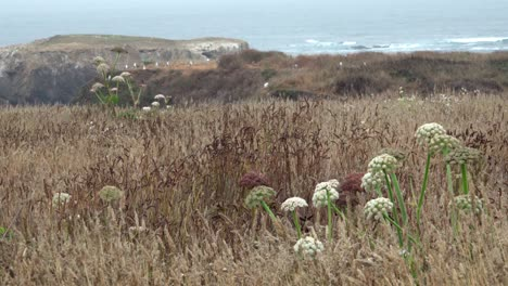 Wild-grass-blowing-in-the-wind-that-comes-off-the-Pacific-Ocean-and-sweeps-over-the-Mendicino-Headlands-California-3