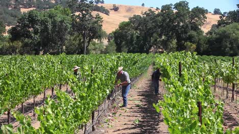 Vineyard-workers-dropping-leaves-and-fruit-on-a-bright-sunny-day-in-a-Sonoma-County-vineyard-California