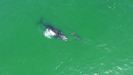 Vista-Aérea-Over-A-North-Atlantic-Right-Whale-Mother-And-Calf-Swimming-With-Bottlenose-Dolphins