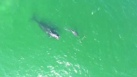 Aerial-Over-A-North-Atlantic-Right-Whale-Mother-And-Calf-Swimming-With-Bottlenose-Dolphins-2