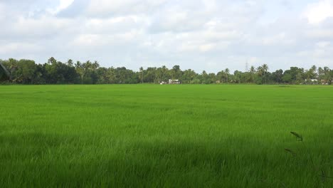 Vast-rice-paddy-in-Southern-India