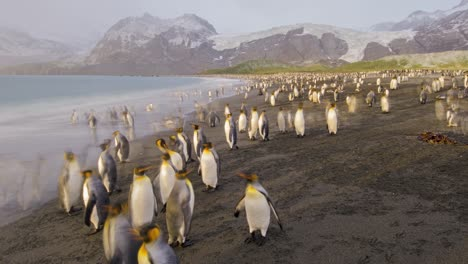 Remarkable-blurring-timelapse-wildlife-shot-of-king-penguins-by-the-thousands-on-South-Georgia-Island-Antarctica