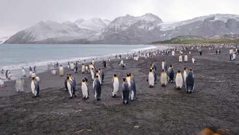 Remarkable-timelapse-wildlife-shot-of-king-penguins-by-the-thousands-on-South-Georgia-Island-Antarctica