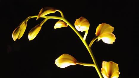 Hermoso-Lapso-De-Tiempo-De-Una-Flor-De-Orquídea-En-Flor