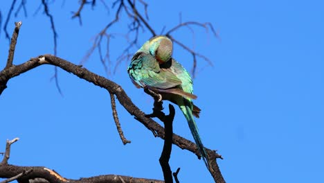 El-Pájaro-Loro-Ringneck-Australiano-Se-Sienta-Y-Se-Acicala-En-Un-árbol