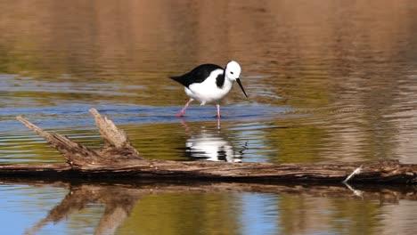 Un-Zanco-De-Cuello-Negro-Se-Alimenta-En-Un-Estanque-En-Australia