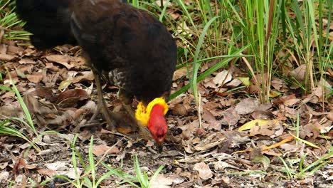 A-colorful-brush-turkey-feeds-on-the-ground-in-Australia