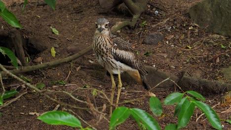 Un-Pájaro-Zarapito-Arbusto-Se-Encuentra-En-El-Suelo-En-Australia