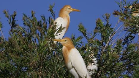 Un-Par-De-Aves-Garza-Bueyera-Se-Sientan-En-La-Rama-De-Un-árbol-En-Australia
