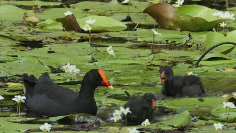 Two-dusky-moorhens-swim-and-feed-in-a-swamp-in-Australia-1
