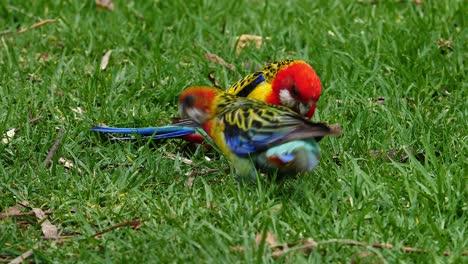 Zwei-östliche-Rosella-Papageien-Suchen-Im-Gras-In-Australien-Nach-Futter