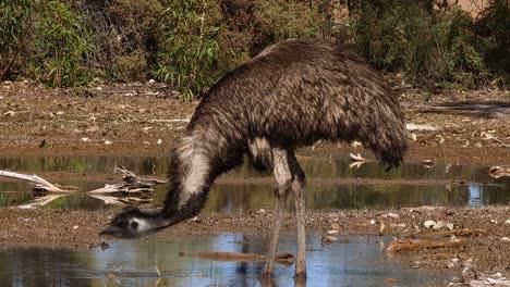 Un-Emú-Australiano-Camina-Y-Bebe-En-Un-Estanque-1