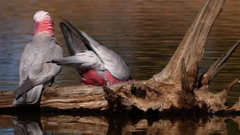 Two-galah-parrot-birds-drink-from-a-pond-in-Australia