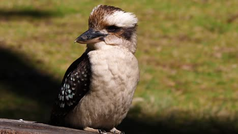 Extreme-Nahaufnahme-Eines-Lachenden-Kookaburra-In-Einem-Baum-In-Australien-1