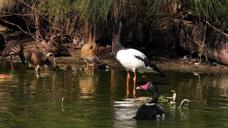 A-Magpie-Goose-standing-in-a-pond-in-Australia