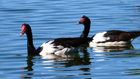 A-Magpie-Goose-floats-in-a-pond-in-Australia-1
