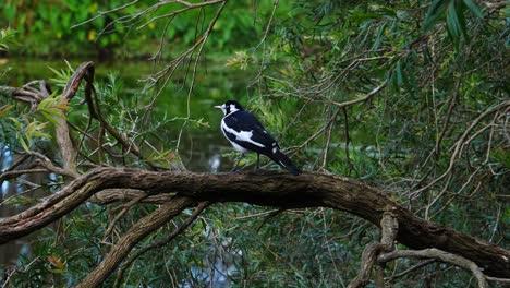Una-Alondra-Urraca-Posada-En-Una-Rama-Cerca-De-Un-Estanque-En-Australia
