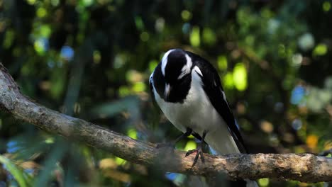 A-Magpie-Lark-is-perched-on-a-branch-near-a-pond-in-Australia-1