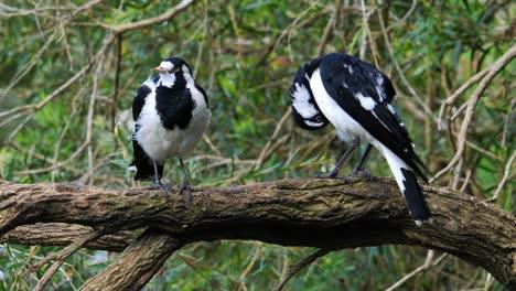 Dos-Alondras-Urraca-Posado-En-Una-Rama-Cerca-De-Un-Estanque-En-Australia