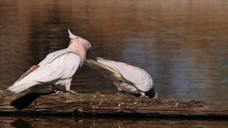 Two-Major-Mitchell-cockatoos-sit-on-a-branch-and-drink-from-a-pond