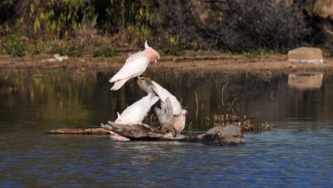 Two-Major-Mitchell-cockatoos-sit-on-a-branch-and-drink-from-a-pond-1
