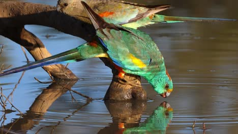 A-colorful-mulga-parrot-drinks-from-a-pond-in-Australia
