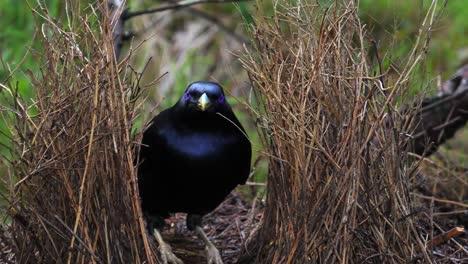 Satin-bowerbird-arranges-sticks-in-nest-in-Australia