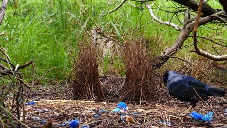 Satin-bowerbird-arranges-sticks-in-nest-in-Australia-1