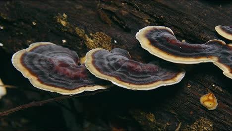 Hongos-De-Oreja-De-Madera-Setas-Crecen-En-Un-Bosque-En-Australia-1
