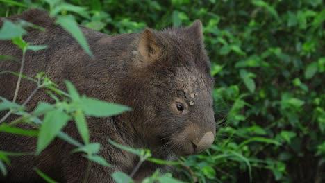 Cerca-De-Un-Wombat-Caminando-Por-La-Noche-En-Australia