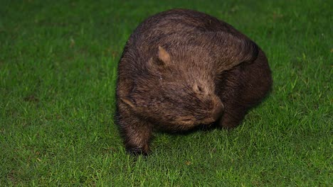 Close-up-of-a-wombat-walking-at-night-in-Australia-1