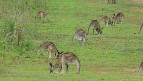 Los-Canguros-Pastan-En-Un-Campo-Abierto-En-Australia