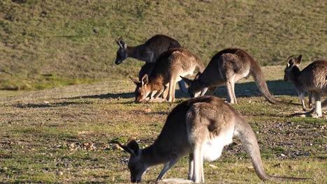 Kängurus-Grasen-Auf-Einem-Offenen-Feld-In-Australien-1