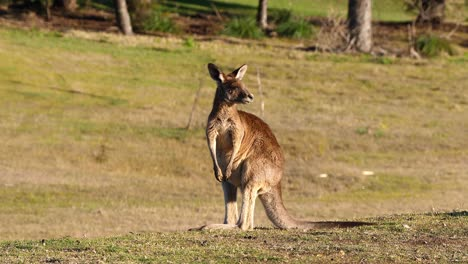 Kangaroos-graze-in-an-open-field-in-Australia-3