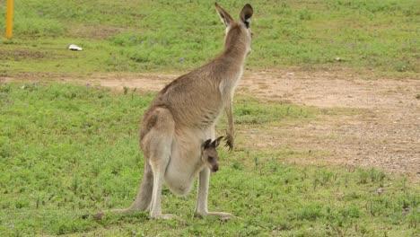 Kangaroos-with-baby-joey-in-pouch-graze-in-an-open-field-in-Australia-1