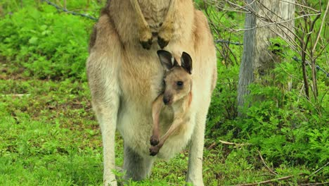 Kangaroos-with-baby-joey-in-pouch-graze-in-an-open-field-in-Australia-2