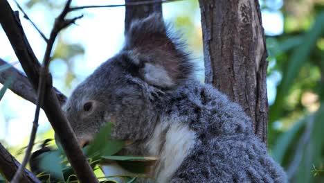 A-koala-bear-sits-in-a-eucalyptus-tree-in-Australia