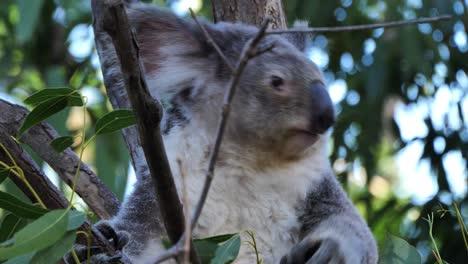 Un-Oso-Koala-Se-Sienta-En-Un-árbol-De-Eucalipto-En-Australia-1