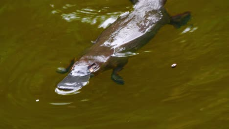A-platypus-swims-in-a-lake-in-Australia