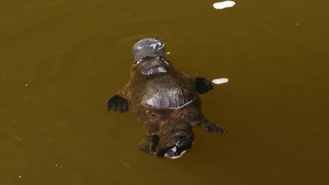 A-platypus-swims-in-a-lake-in-Australia-1