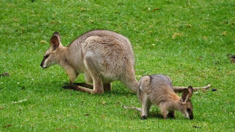 Wallaby-kangaroos-graze-in-a-field-in-Australia