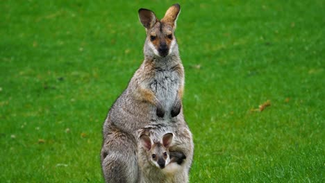 Wallaby-kangaroo-with-baby-joey-in-pouch-in-a-field-in-Australia