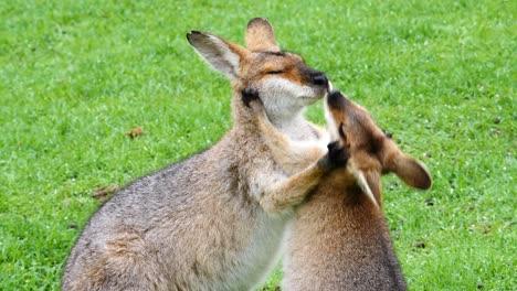 Wallaby-kangaroos-embrace-in-a-field-in-Australia