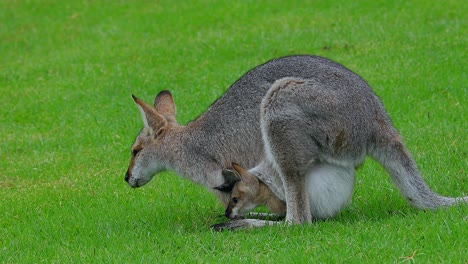 Wallaby-kangaroo-with-baby-joey-in-pouch-in-a-field-in-Australia-1