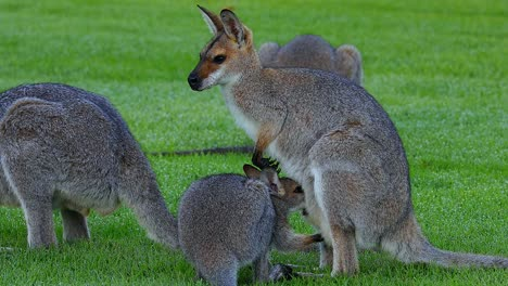 Canguros-Wallaby-Pastan-En-Un-Campo-En-Australia-2