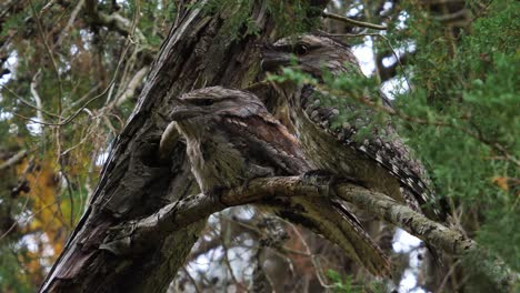 Two-tawny-frogmouth-owls-perch-on-a-tree-branch-in-Australia