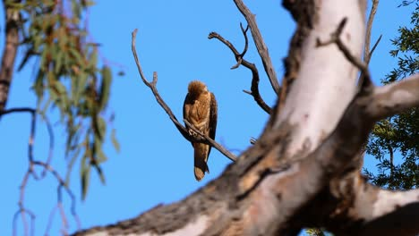 A-black-kite-hawk-sits-opn-a-branch-of-a-tree-in-Australia